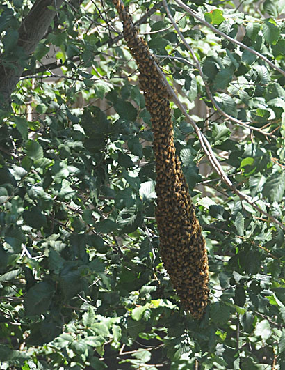 Photo: Bee swarm outside Briggs Hall, UC Davis campus