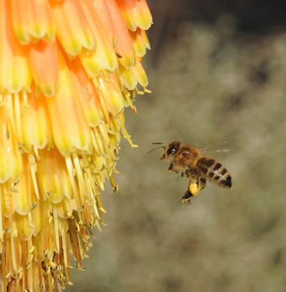 Photo: Honey Bee heading for Christmas cheer