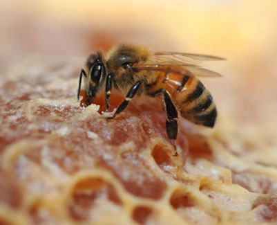 Photo: Honey bee and honeycomb  hspace=