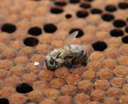 Photo: Newborn bee at Harry H. Laidlaw Jr. Honey Bee Research Facility