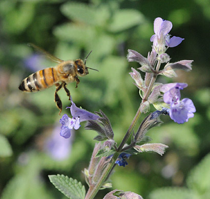 Photo: Honey Bee heading for catmint