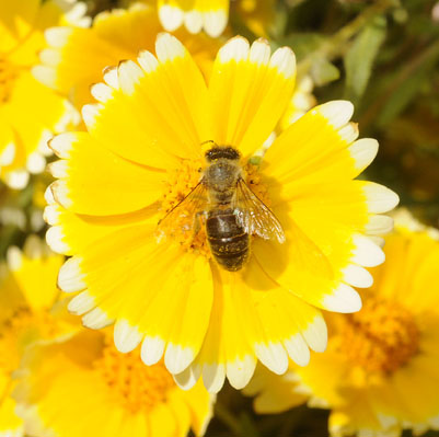 Photo: Honey bee on tidy tips, California native wildflower